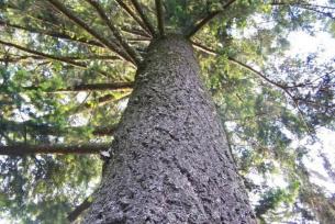 Pomniki przyrody ~ Daglezja zielona w Gębicach
