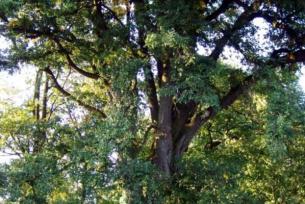 Pomniki przyrody ~ Park dworski z pomnikami przyrody w Mircu